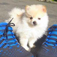 AKC Pomeranian Pequeños perritos Adorable