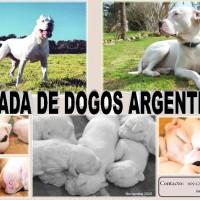 Camada de dogos argentinos pura raza